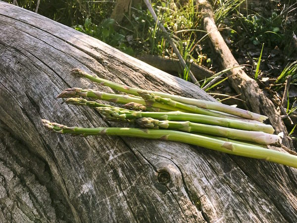 Wild Asparagus harvest sitting on a log