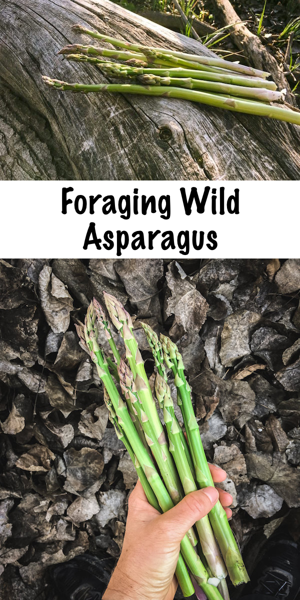 Foraging Wild Asparagus ~ Early spring is the time to stalk, search and forage for wild asparagus. Identifying wild asparagus is easier than you think, and the problem is, finding it in the right season. Asparagus isn't foraged you see, it's stalked...long before it's ready the hunt begins.#wild #asparagus #forage #howtofind
