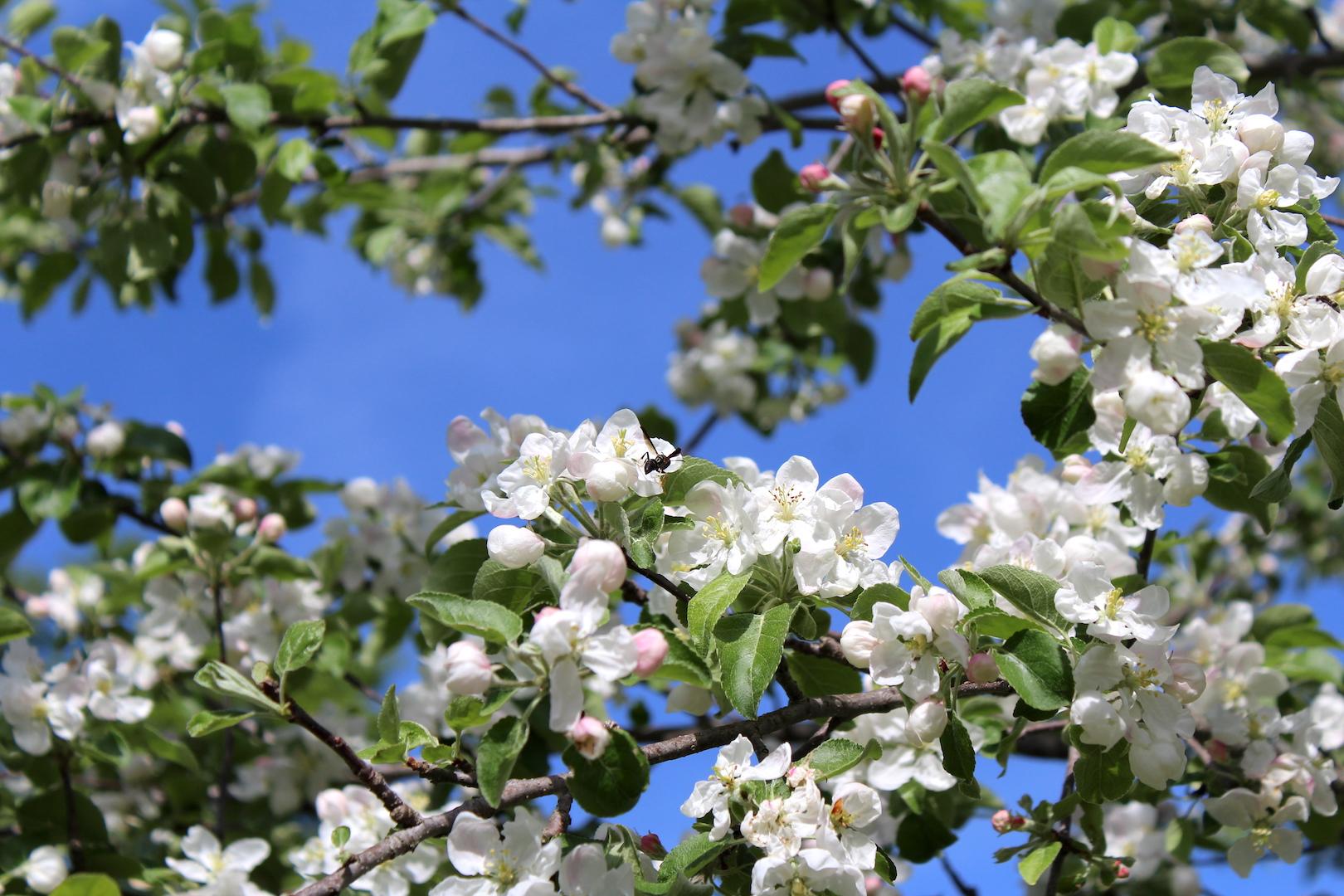 Apple Blossoms for Pollinators