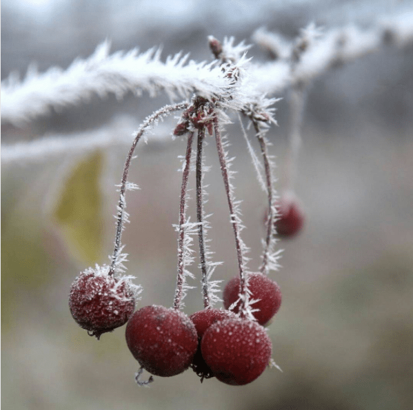 Crab Apples in Winter
