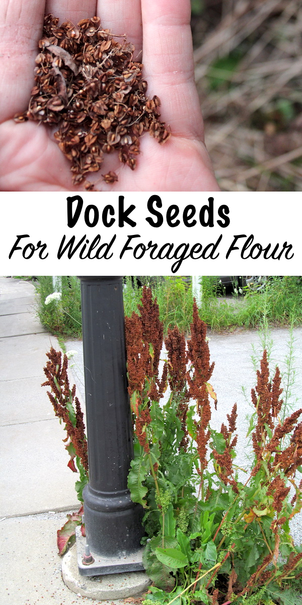 Foraging Dock Seeds for Wild Foraged Flour ~ Yellow dock produces tiny seeds, similar to buckwheat, which can be ground into flour for baking.  Since dock plants are common around the world, this is an easily accessible source of wild foraged flour.