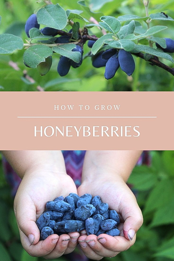 How to Grow Honeyberries (Haskap Berries) ~ Hardy to zone 2 and tolerant of poor soils, honeyberries are a great choice northern gardeners. They're the earliest ripening fruit, ready 3 weeks before the first strawberries. If you're looking for an easy to grow berry with minimal maintenance, then honeyberries have you covered. #honeyberry #haskap #permaculture #howtogrow #orchard #homesteading #growingfood #trees #gardening #perennial #selfsufficiency #gardeningtips