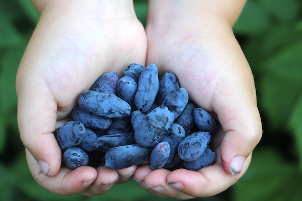 Child holding a handful of freshly harvested honeyberries (haskap berries)