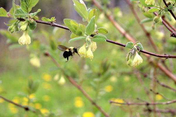 A bumble bee pollinator for honeyberries