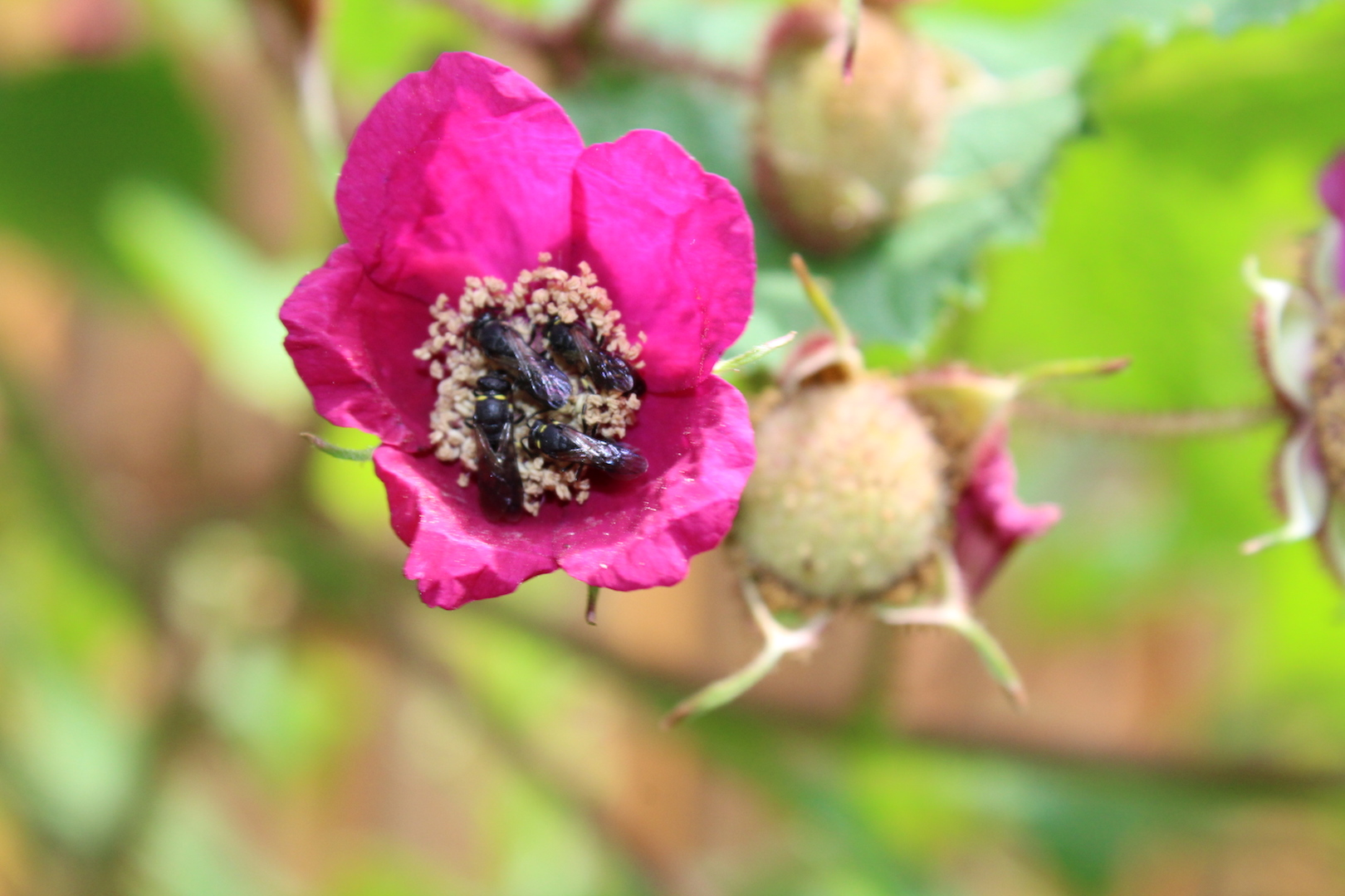 native bees in a thimbleberry flower