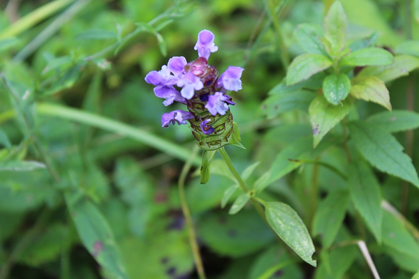 Henbit Flowers as a Spring Nectar Source for Bees