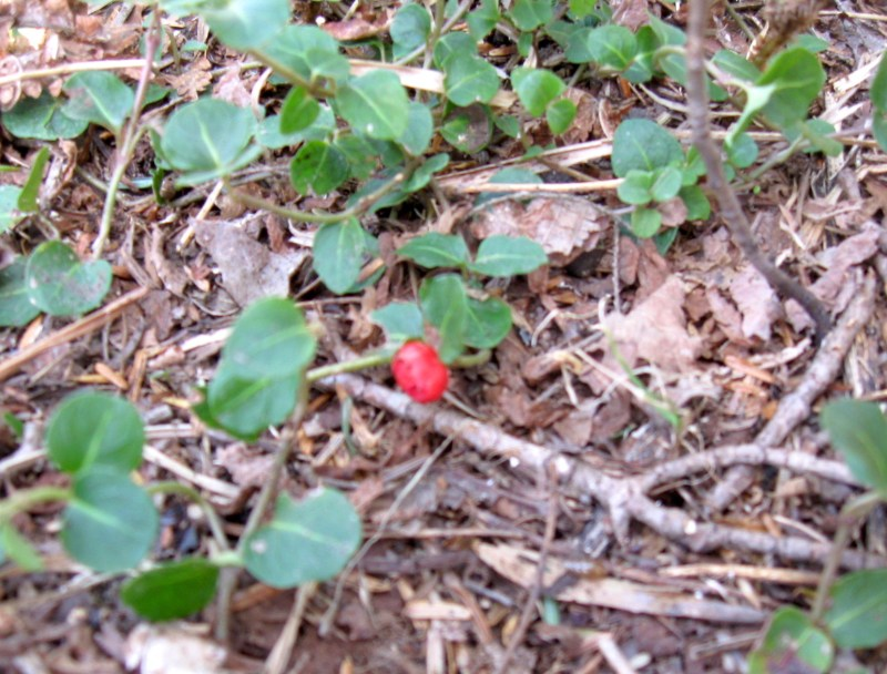 Teaberries in Winter