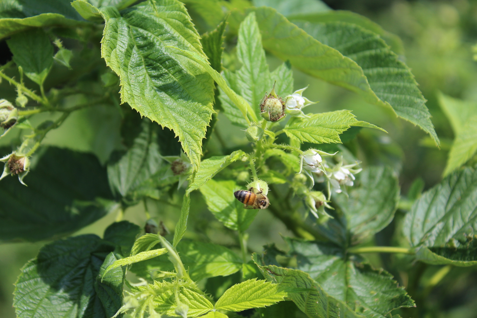 Honeybee Pollinating a Raspberry Blossom at a Pick Your Own