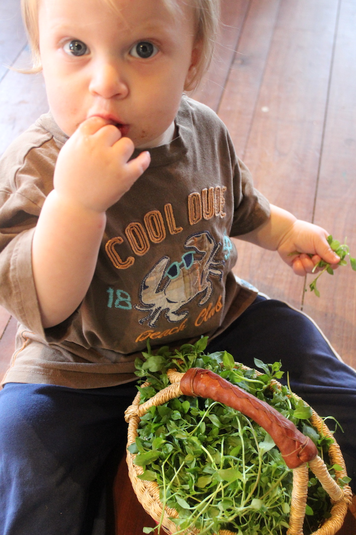 Foraging Chickweed with Kids