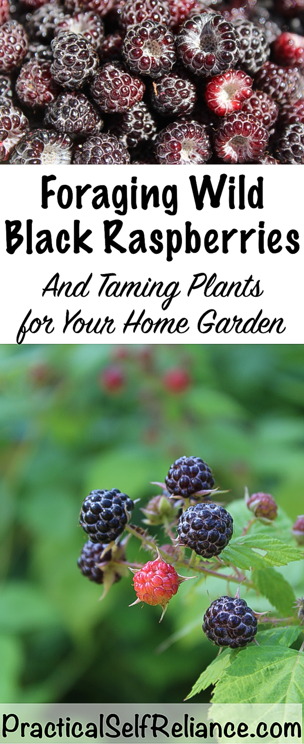 Foraging Wild Black Raspberries ~ Taming Plants for Your Home Garden #blackraspberries #raspberries #foraging #wildfood #forage #selfsufficiency #wildcrafting #gardening #organicgardening #howtogrow #gardeningtips #growingraspberries