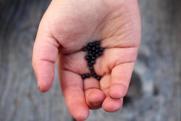 Ramp Seeds