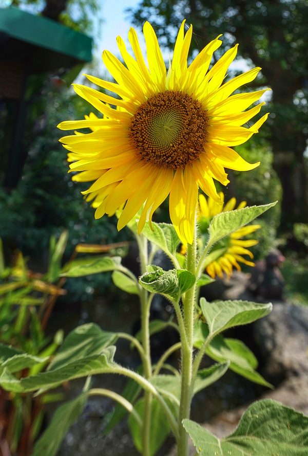 Sunflower Head for Sunflower Seeds