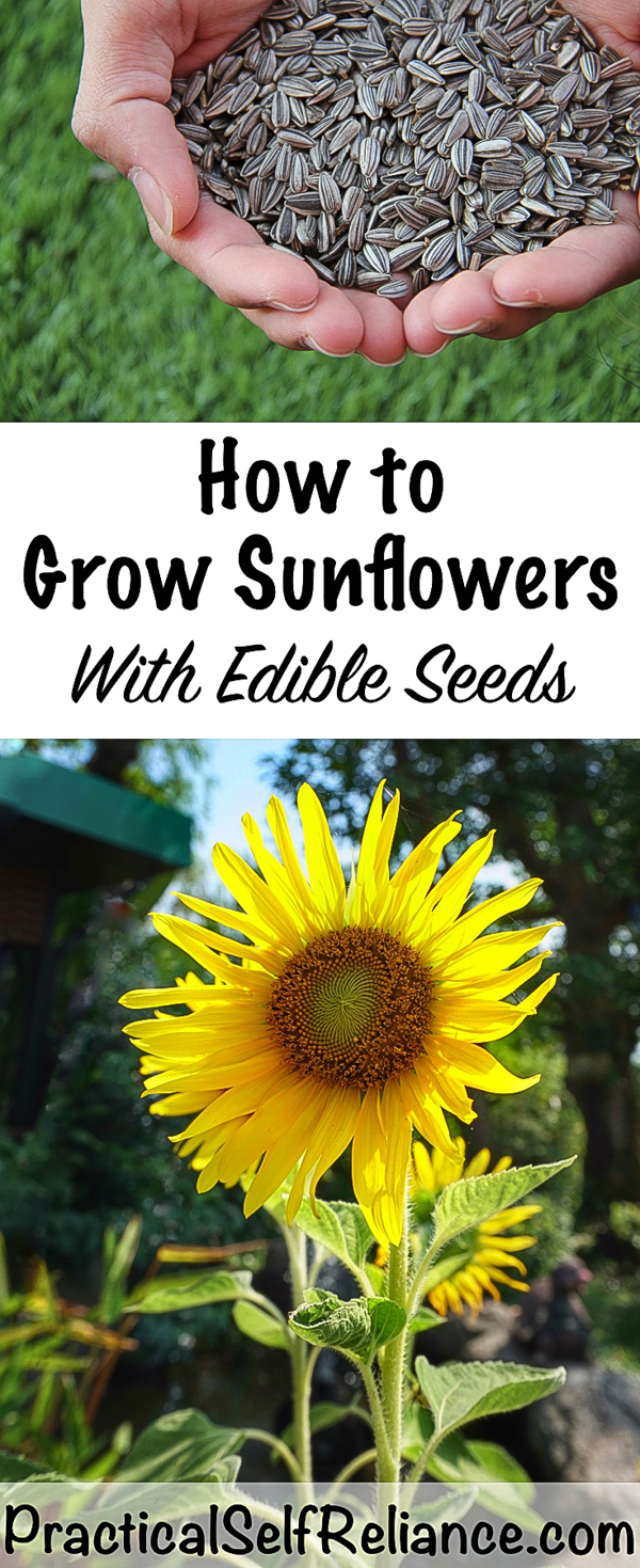 How to Grow Sunflowers for Seeds ~ Grow Edible Sunflower Seeds #sunflower #sunflowers #edibleflowers #sunflowerseeds #gardening #organicgardening #howtogrow #vegetablegardening #foodgardening #gardeningtips #homesteading #homestead #selfreliant