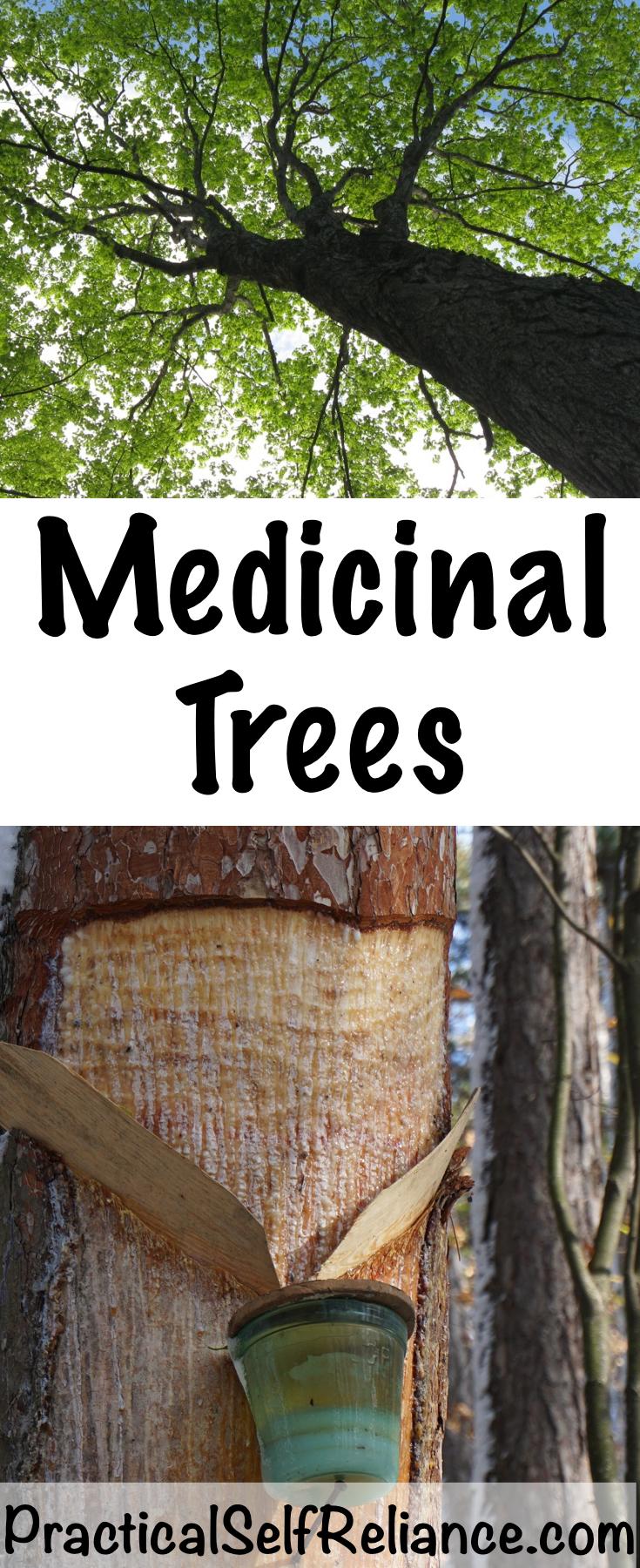 Medicinal Trees ~ Tree Based Herbal Medicines #trees #uses #herbalism #medicine #foraging #wildcrafting #survival