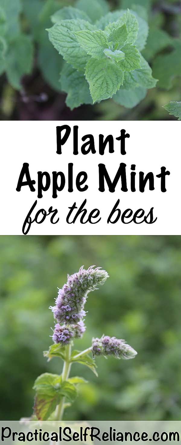 Plant Apple Mint For The Bees #growingmint #growingherbs #pollinators #herbs #homesteading #gardening #gardeningtips