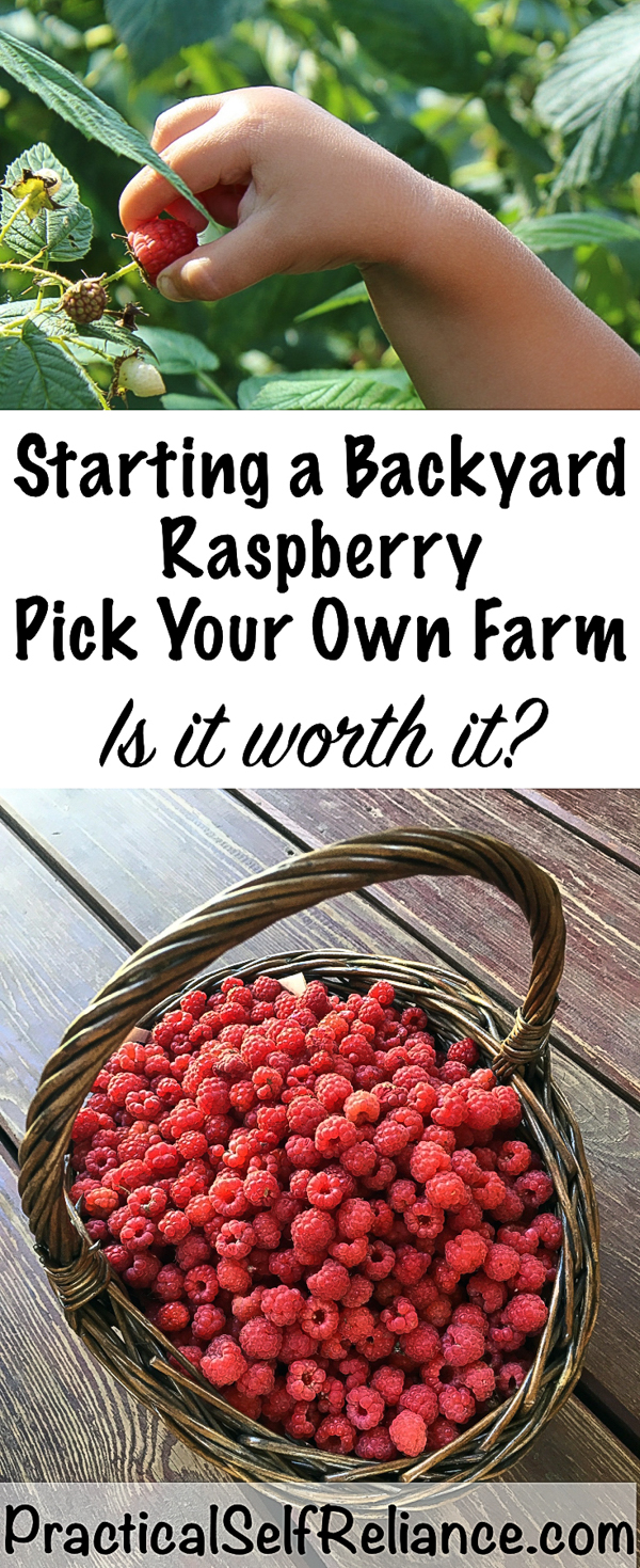 Starting a Backyard Raspberry Pick Your Own ~ Making Money From Your Back Yard #pickyourown #upick #raspberries #raspberry #smallfarm #growingraspberries #gardening #organicgardening #howtogrow #vegetablegardening #gardeningtips #homesteading #homestead #selfreliant #homesteadincome #moneymakingideas