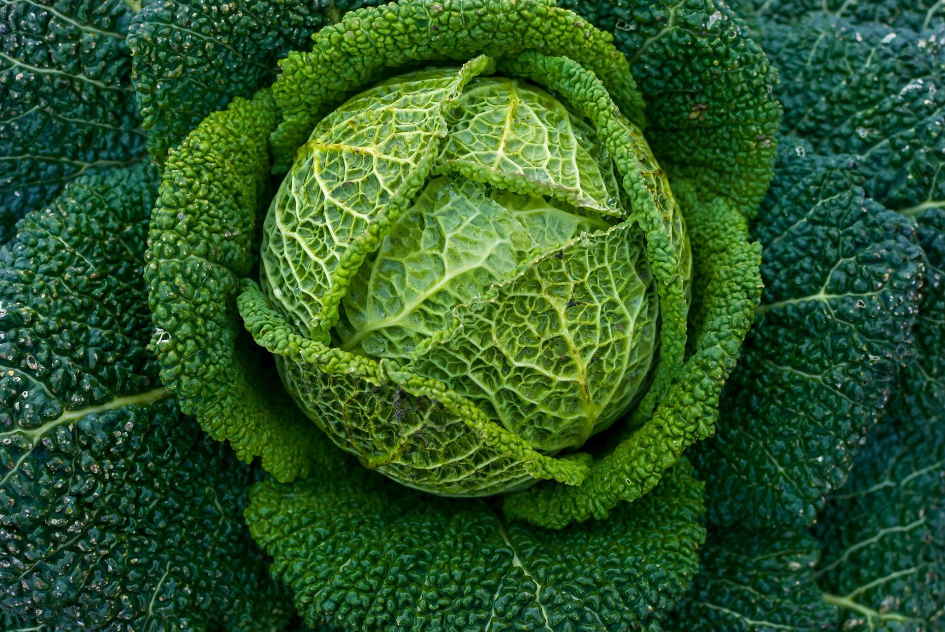 Shade Tolerant Cabbage