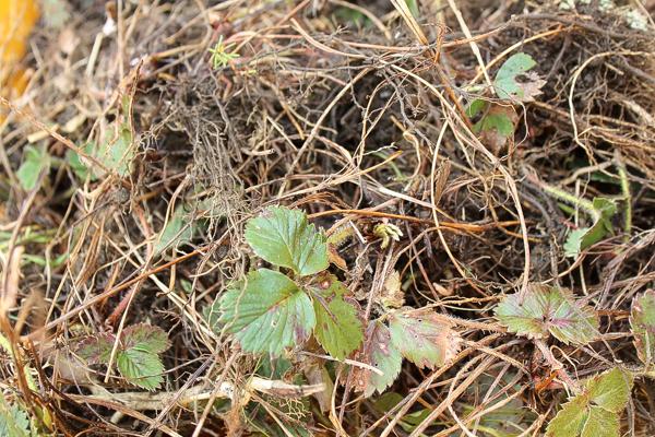 Bareroot Strawberry Plants for Transplant