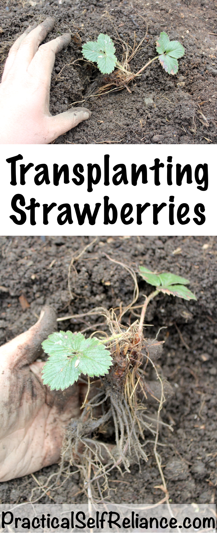 Transplanting Strawberries ~ How to Grow Strawberries #strawberries #growingstrawberries #gardening #organicgardening #howtogrow #gardeningtips #homesteading #homestead #selfreliant