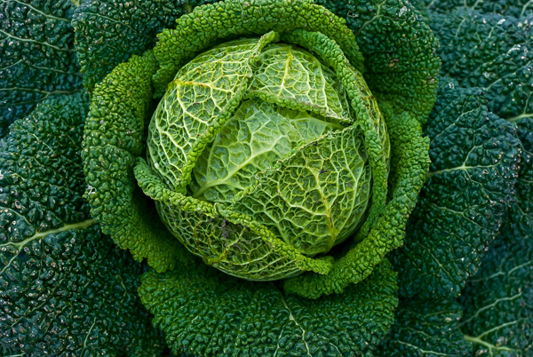 Shade Tolerant Cabbage