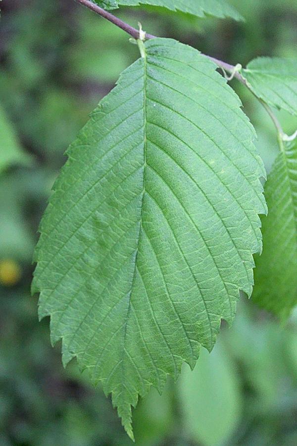 Slippery Elm Tree Leaf