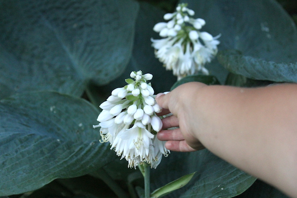 Harvesting Edible Hosta Blossoms