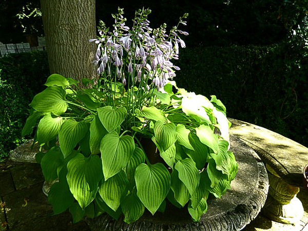 Shade garden hosta plant