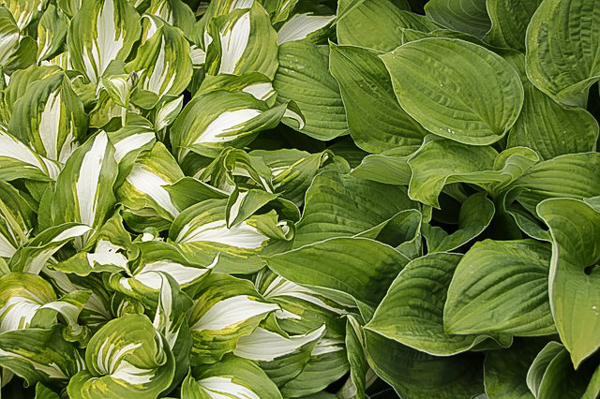 variegated hosta (striped) and green hosta side by side