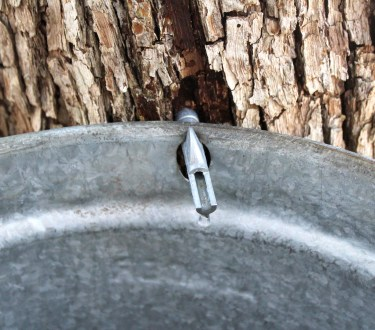 Tapping Ironwood Trees for Syrup