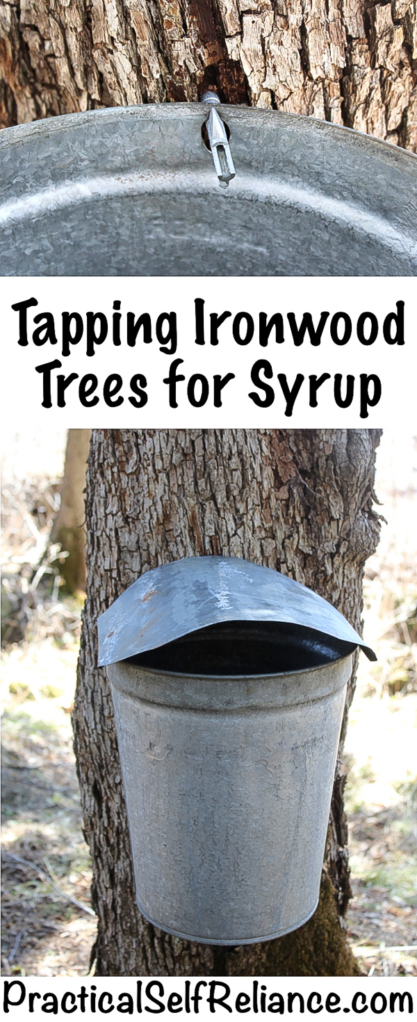 Tapping Ironwood Trees for Syrup #tappingtrees #makingsyrup ##homestead #homesteading #selfsufficiency #selfreliant #preparedness #maplesyrup