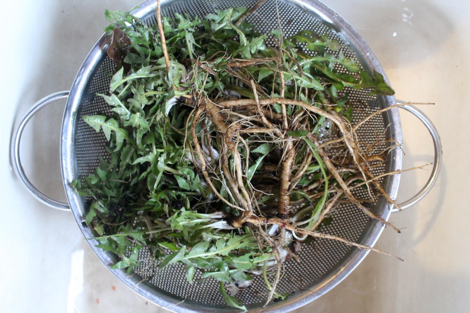 Washing Dandelion Roots