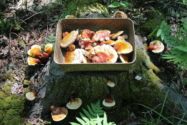 Basketful of freshly harvested reishi mushrooms