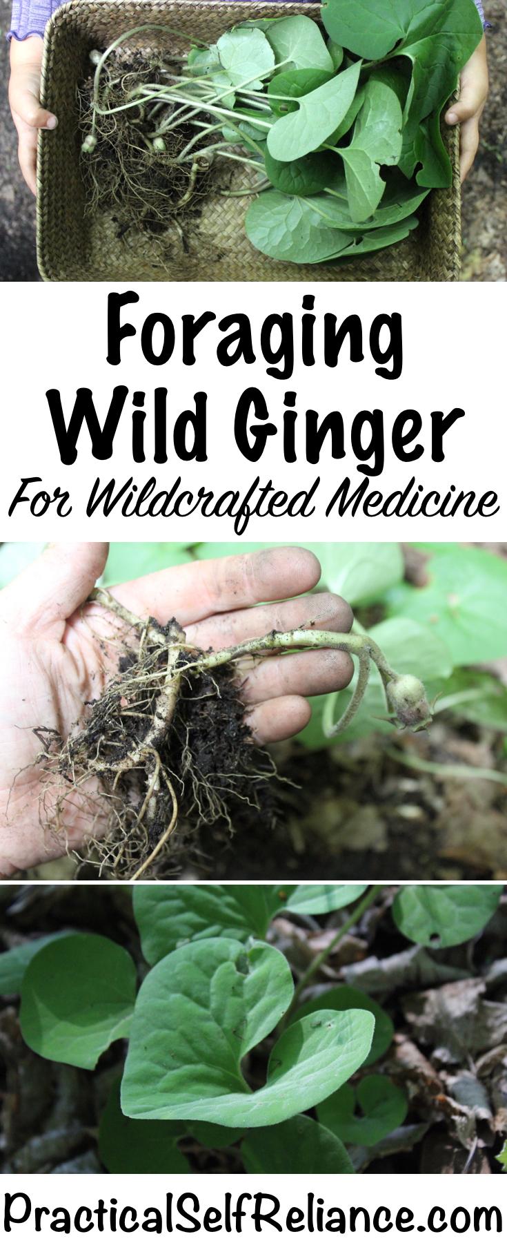 Foraging Wild Ginger ~ Wildcrafted Medicine