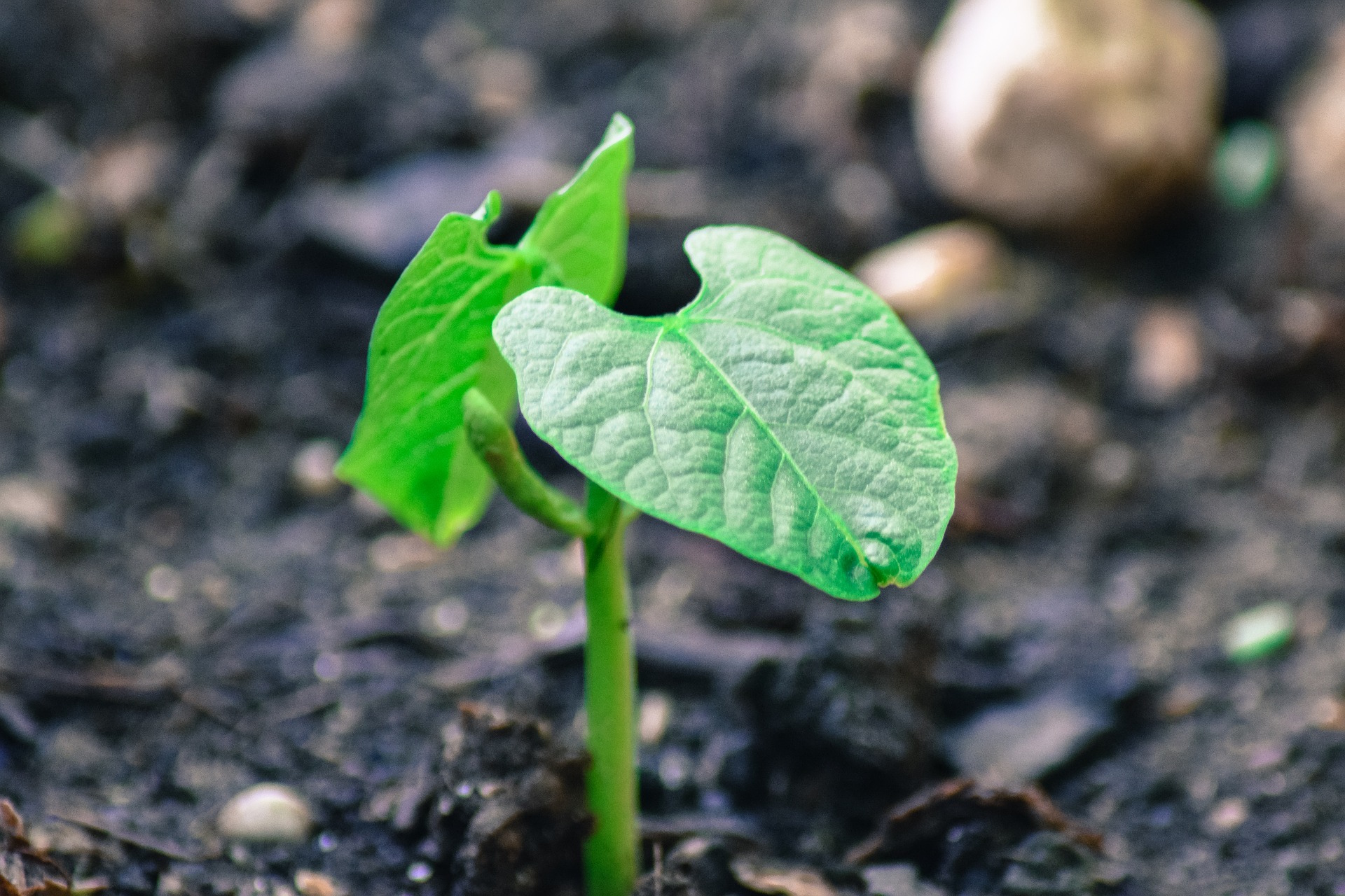 Growing Green Beans from Seed