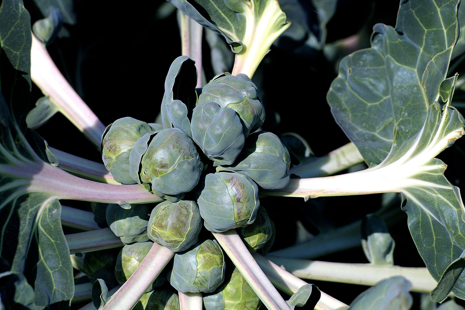 Growing Brussel Sprouts in Containers