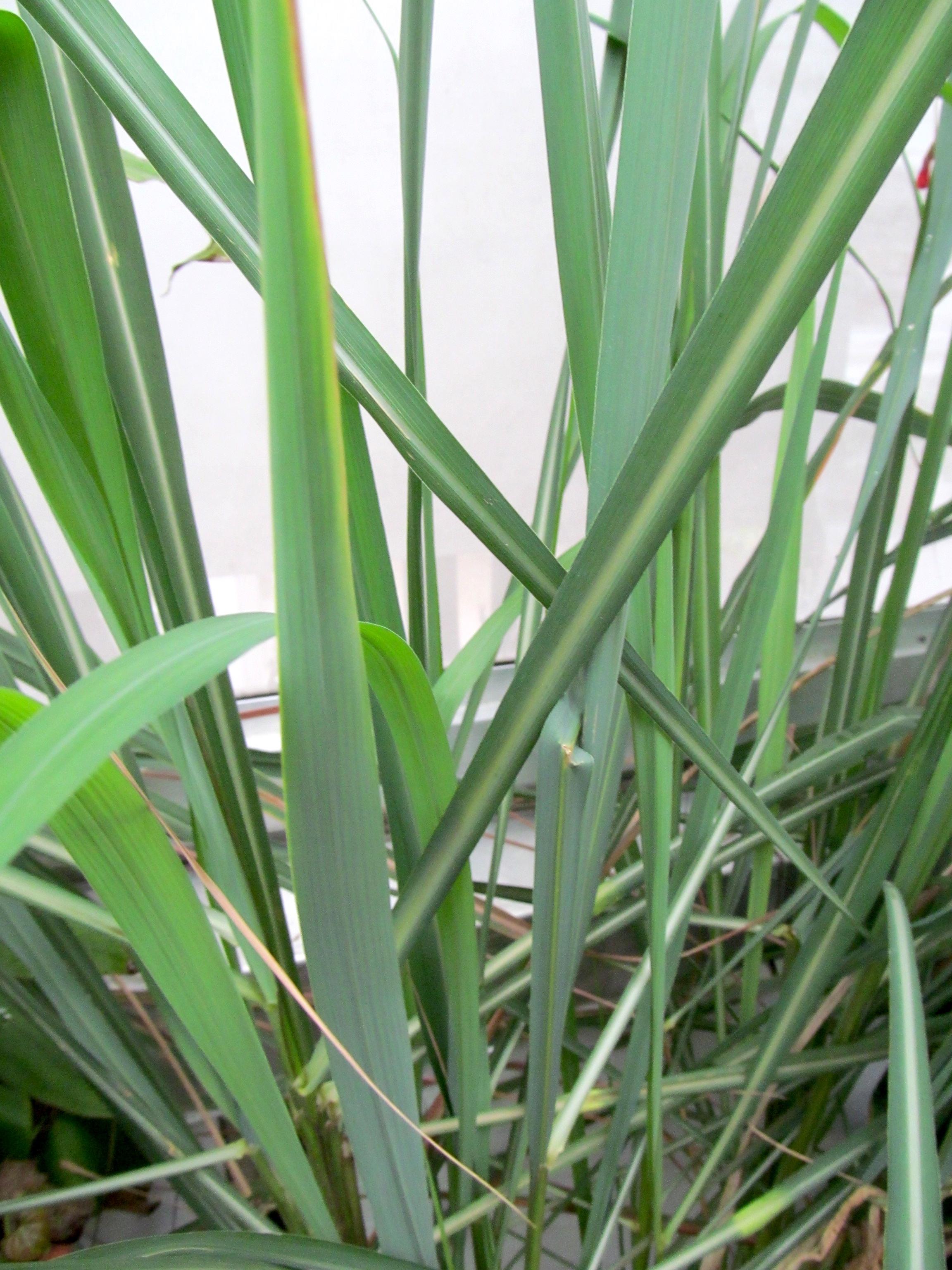Growing Lemongrass Indoors