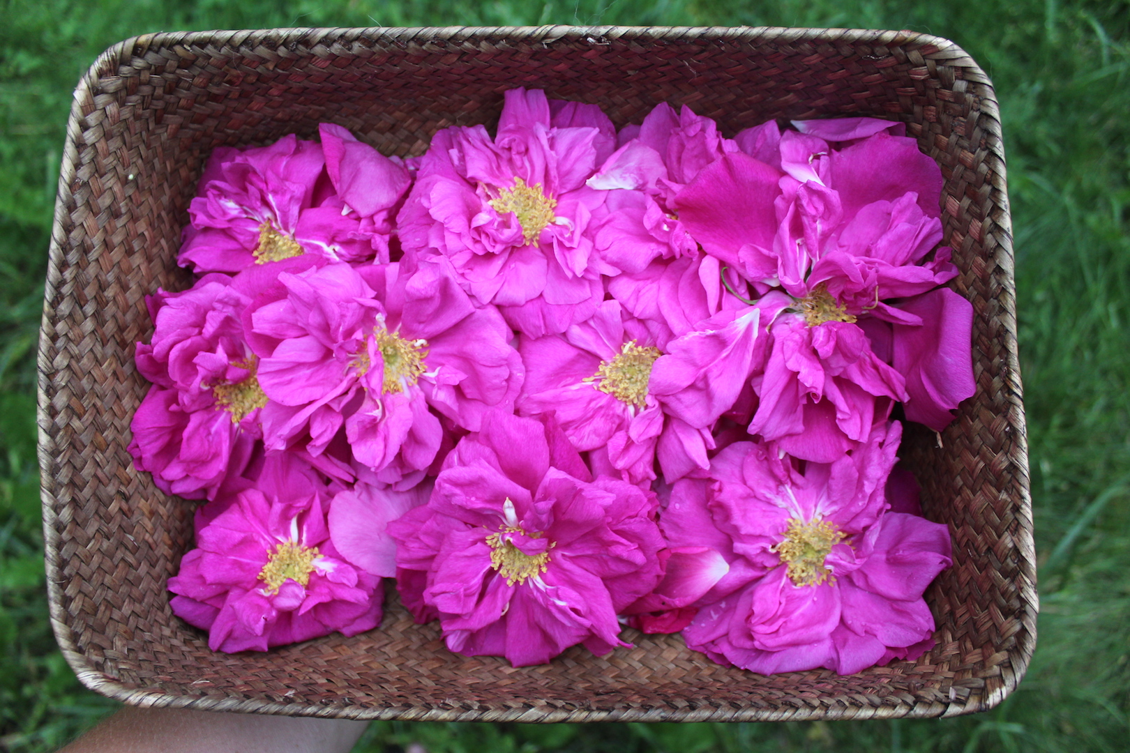 Harvesting Wild Roses for Cordial