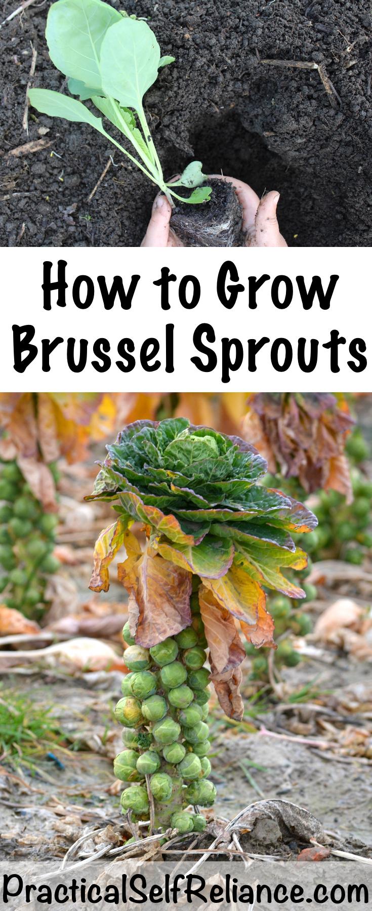 How to Grow Brussel Sprouts ~ In the Garden or in Containers #brusselssprouts #brusselsprouts #howtogrow #gardening #gardeningtips #organicgarden #fallgarden #containergarden