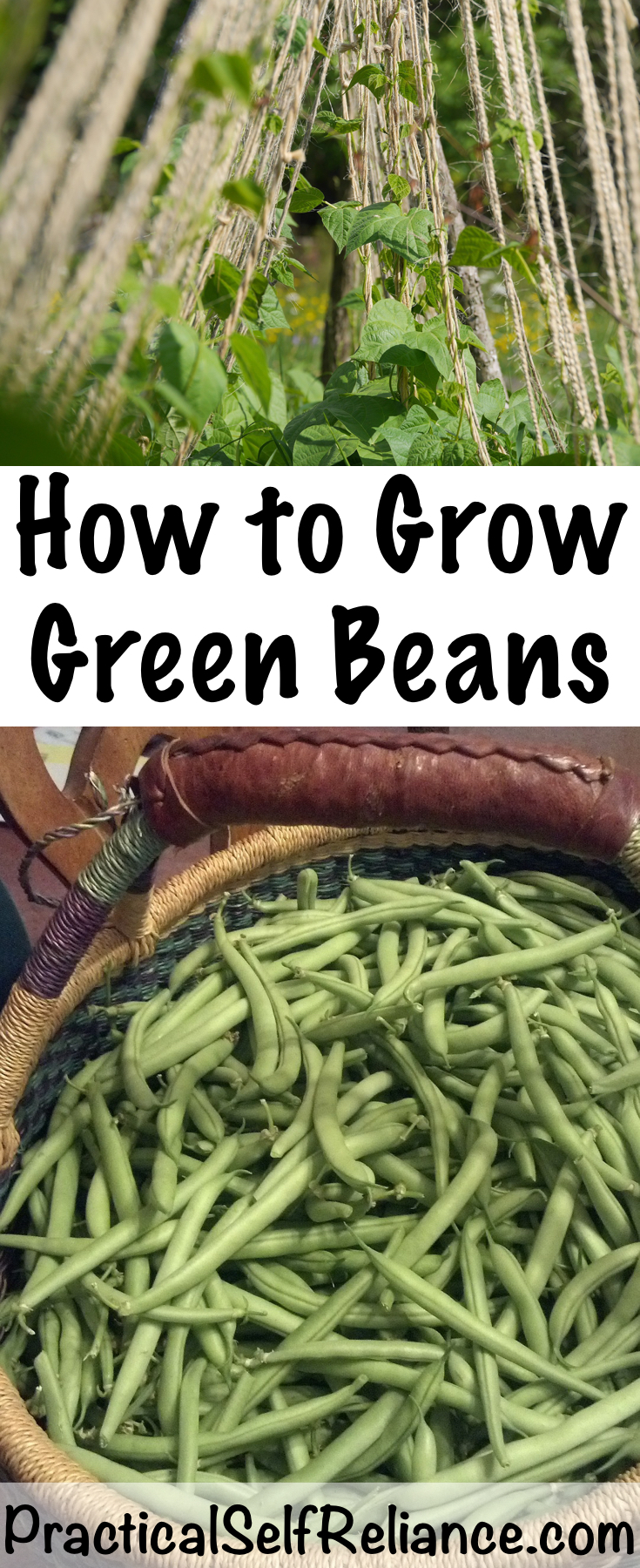 How to Grow Green Beans #greenbeans #howtogrowbeans #gardening #organicgardening #gardeningtips #homesteading