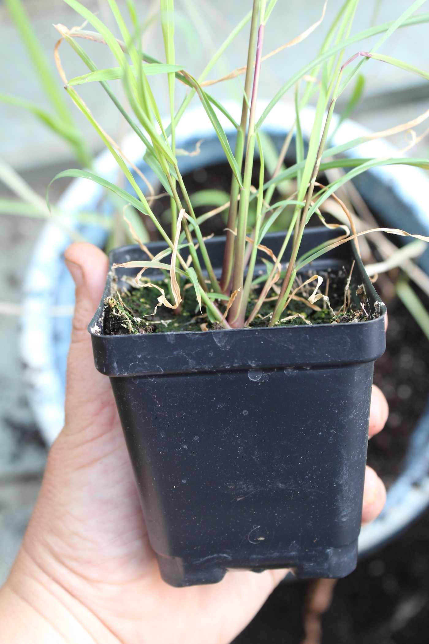 Growing Lemongrass from seed