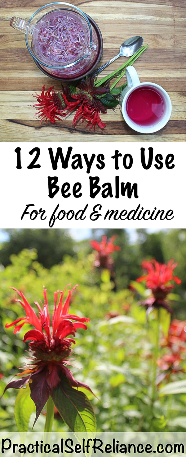 12 Ways to Use Bee Balm for Food & Medicine #beebalm #monarda #uses #herbs #herbalism #edibleflowers #herbalist