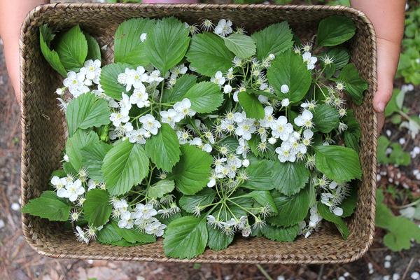 Wild Foraged Hawthorn Flowers