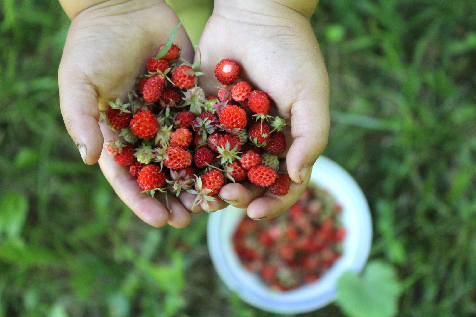 Harvesting Wild Strawberries