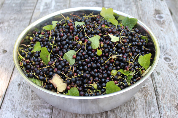 A single blackcurrant bush can produce many quarts of fruit. Here's the harvest from one of ours. It's well over 10 pounds of fruit.