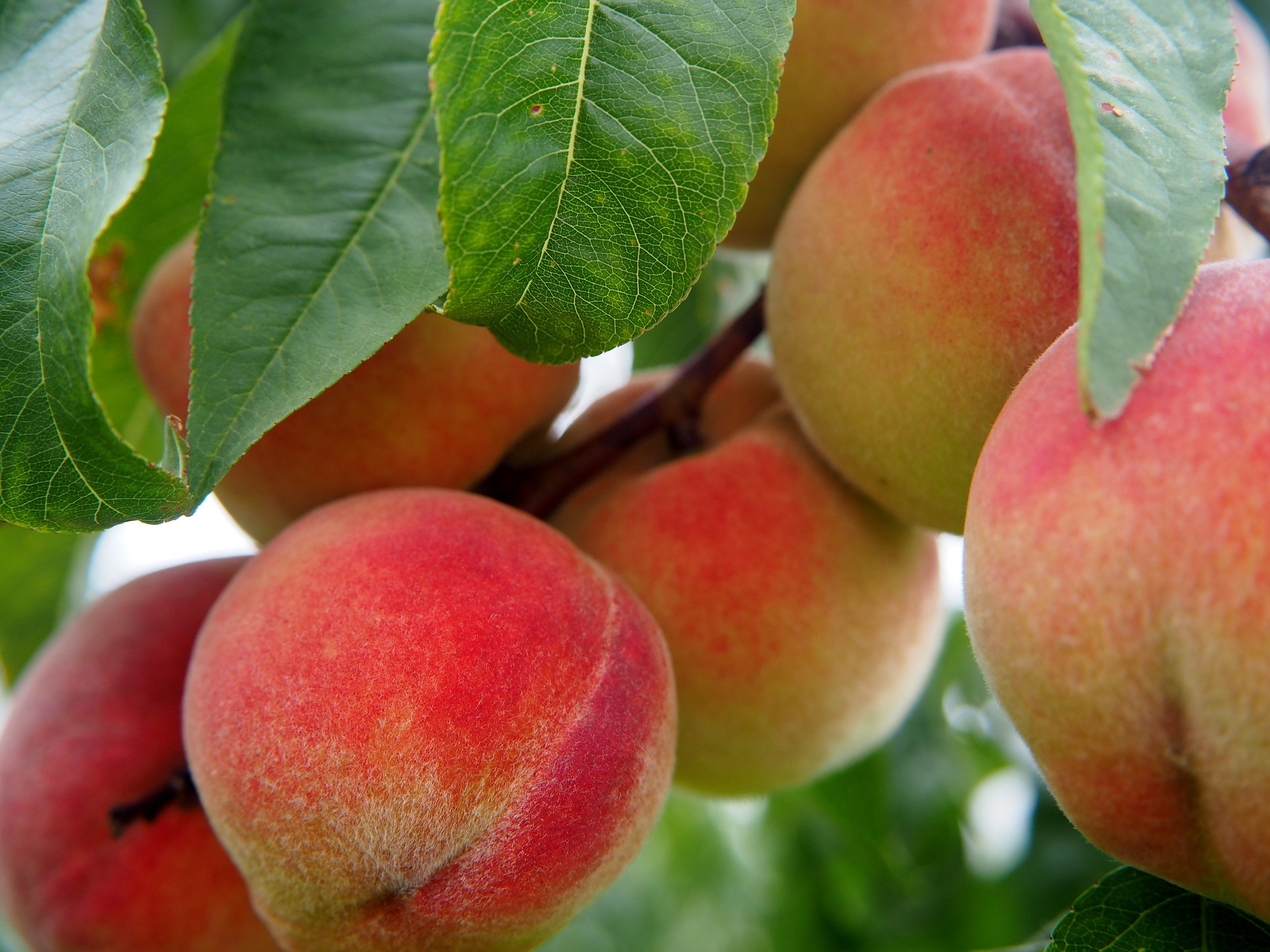 Cold hardy peaches for zone 4