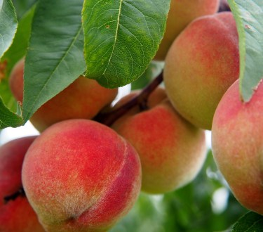 Cold Hardy Peach Trees for Zone 4