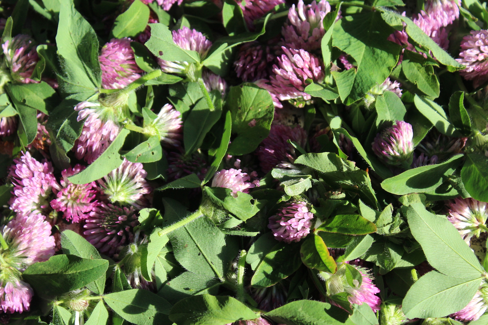 Drying Clover Blossoms