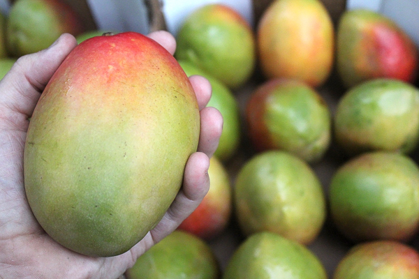 Mangoes For Canning