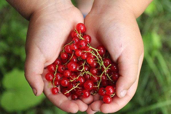 Red Currant harvest