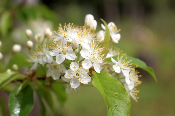 Pin cherry flower cluster (Prunus pensylvanica)